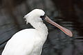 Black-faced Spoonbill Platalea minor.jpg