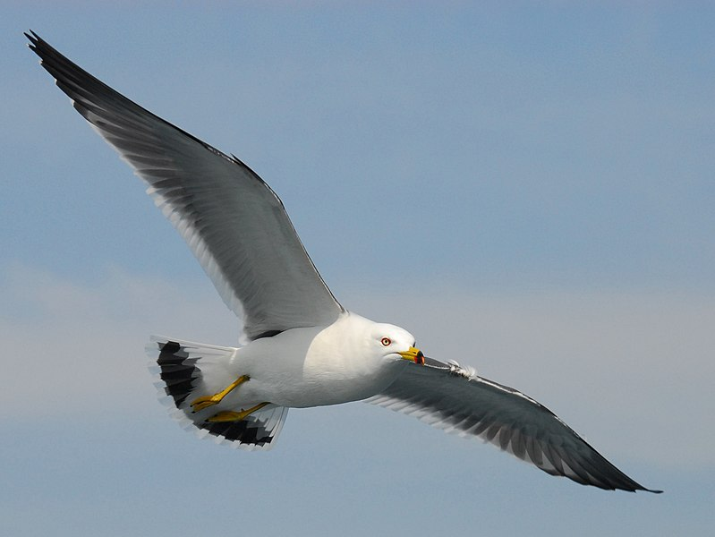 File:Black-tailed gull.jpg
