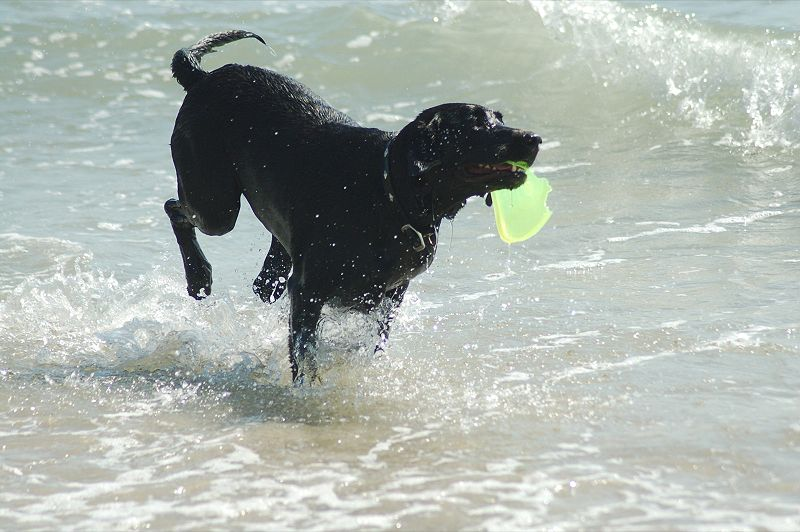 https://upload.wikimedia.org/wikipedia/commons/thumb/8/86/Black_Labrador_Retriever_retrieving.jpg/800px-Black_Labrador_Retriever_retrieving.jpg