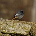 Black Redstart (Phoenicurus ochruros) (8521270466).jpg