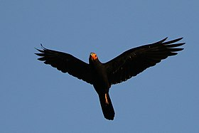 Black caracara (Daptrius ater) in flight.jpg