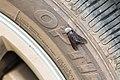 Black horsefly (28691636426).jpg