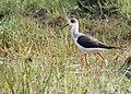Black winged stilt 4.jpg