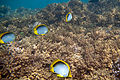 Blackback butterflyfish Chaetodon melannotus (black-backed butterflyfish) (5849450532).jpg