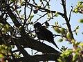 Blackbird, Bystrc 07.JPG