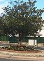 Blagnac - Le magnolia de la Place Plan du Port, planté au milieu des années 2000.jpg