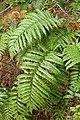Blechnum novae-zelandiae kz2.jpg