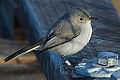 Blue-gray Gnatcatcher (polioptila caerulea) (10828008123).jpg
