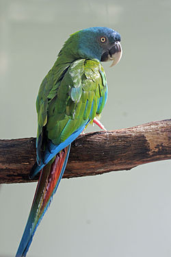 Blue-headed Macaw RWD2.jpg