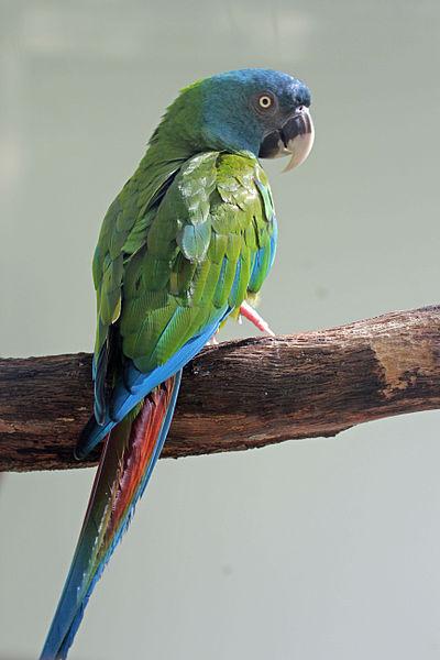 File:Blue-headed Macaw RWD2.jpg
