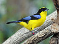 Blue-winged Mountain-Tanager RWD.jpg
