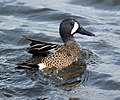 Blue-winged teal- Bolsa Chica Wetlands (4413196984).jpg
