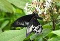 Blue Mormon Papilio polymnestor by Dr. Raju Kasambe DSCN0783 (11).jpg