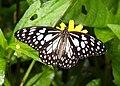 Blue Tiger Tirumala limniace UP by Dr. Raju Kasambe DSCN9866 (2).jpg
