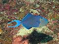 Blue Tooth Triggerfish, Bunaken Island.jpg