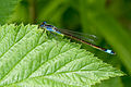 Blue dragonfly close-up (6256146157).jpg