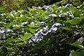 Blue hydrangea in the Woodland Garden at Goodnestone Park Kent England 3.jpg