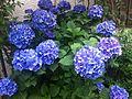 Blue hydrangeas - adachi japan - June 2014.jpg
