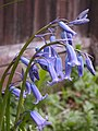 Bluebells, 2020-05-05, Beechview, 02.jpg