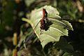 Blutroten Heidelibellen (Sympetrum sanguineum) 2.jpg