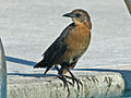 Boated-tailed Grackle (Quiscalusmajor) RWD2.jpg