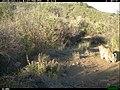 Bobcat (Lynx rufus)2 (24966540660).jpg