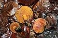 Boletus piperatus JPG01.jpg