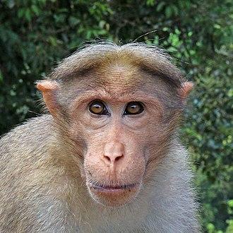 Bonnet macaque - Image: Bonnet macaque (Macaca radiata) head
