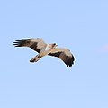 Booted eagle, Hieraaetus pennatus, at Kgalagadi Transfrontier Park, Northern Cape, South Africa (32334024168).jpg