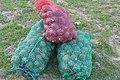 Bordeira - Harvesting pine cones (13468770645).jpg