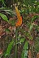 Borneo Titan Arum (Amorphophallus hewittii) fruits (23748822101).jpg