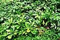 Botanic garden limbe72.jpg