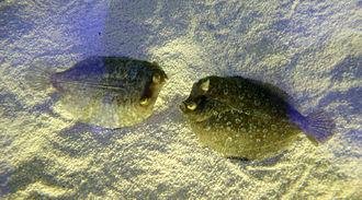 Bothidae - Image: Bothus podas