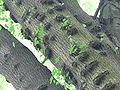Bourgeons épicormiques 1.jpg