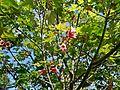 Brachychiton discolor, con flores.jpg