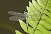 Brachydiplax sobrina-Kadavoor-2016-06-27-005.jpg