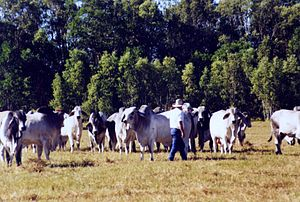 Stockman (Australia) - Bulls respond well to a good stockman