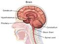 Brain Anatomy (Sagittal).png
