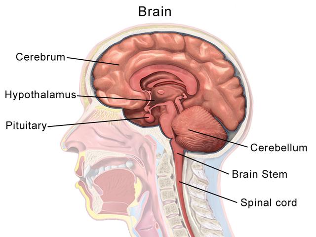 Brain anatomy wiki
