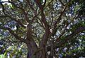 Brancatge de ficus, plaça de Gabriel Miró, Alacant.JPG