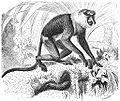 Brehms Het Leven der Dieren Zoogdieren Orde 1 Neusaap (Nasalis narvatus).jpg