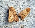 Brick and Yellow-line Quaker (8099230441).jpg