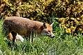 British Wildlife Centre Wildlife (29974566364).jpg