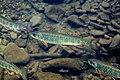 Brook trout 01.jpg