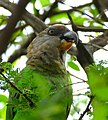 Brown-headed Parrot (Poicephalus cryptoxanthus) eating small fruit ... (31076271101).jpg