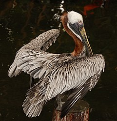 Brown Pelican Pelecanus occidentalis Wings 1918px.JPG