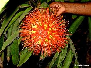 Mahiari - Image: Brownea grandiceps The Indian Nursery