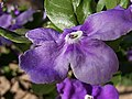 Brunfelsia flower close-up (Panoramio).jpg