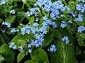 Brunnera-macrophhylla-1.jpg
