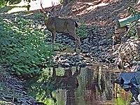 Buck in Permanente Creek Oct. 8, 2016.jpg